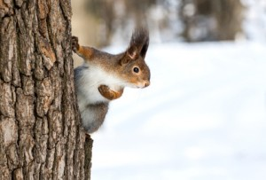 Red squirrel on tree trunk in winter park